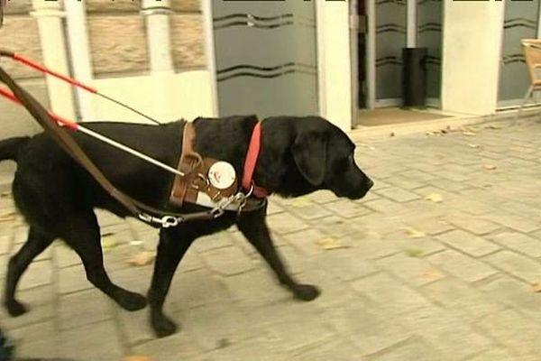 Un chien d'aveugle en pleine action dans la rue