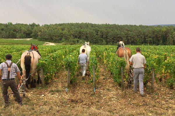 Les chevaux de trait ardennais dans les vignes.