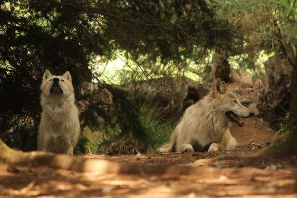 Les loups du refuge de Coat Fur