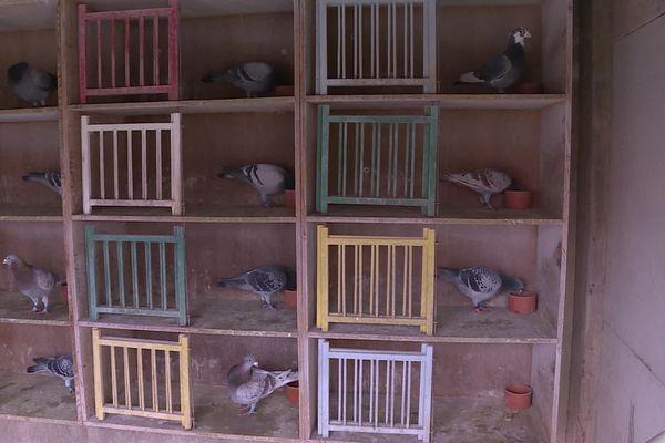 Gérard Tillier possède 300 pigeons