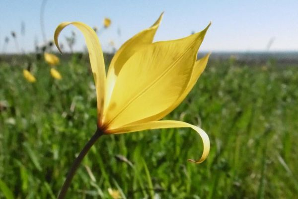 Espèce rare et protégée, cette petite tulipe sauvage est menacée...le Conservatoire des Espaces Naturels veille sur elle!