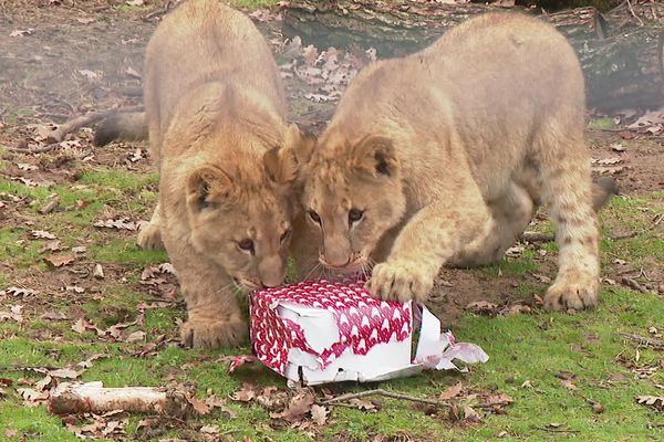 C'est Noël dans l'enclos. Au Safari de Peaugres, en Ardèche, une famille de lions a eu droit à un petit cadeau et un repas de fête. 24 décembre 2020.