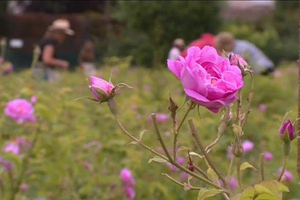 La fleur se ramasse à peine éclose, et les parfumeurs réservent les productions avant même la récolte.