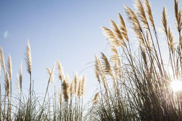 l'herbe de la pampa sous son meilleur jour...