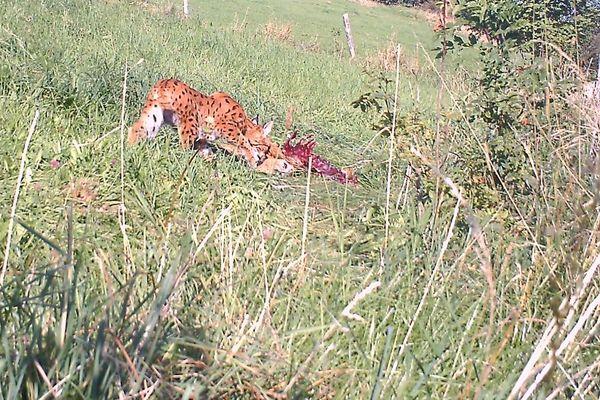 Le lynx commence à se nourrir à nouveau du chevreuil qu'il a prédaté la veille. Il revient toujours plusieurs fois sur ses proies.
