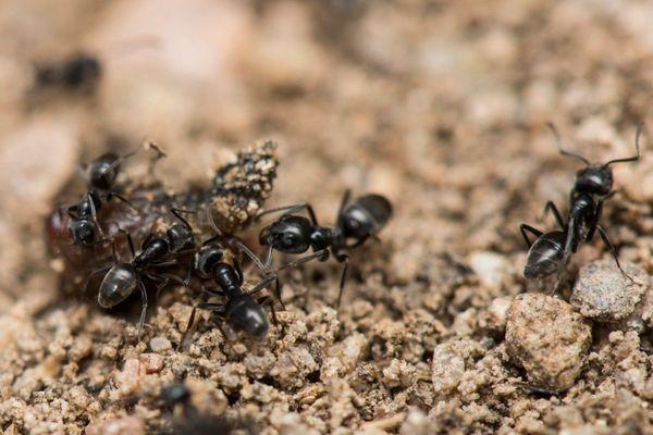 Tapinoma magnum en Corse : le développement de cette fourmi est favorisé par le réchauffement climatique.