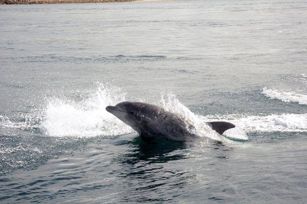 Grand dauphin à proximité de la pointe de Kermorvan au Conquet