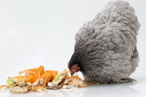 Adopter une poule (ou deux) aide à réduire ses déchets alimentaires