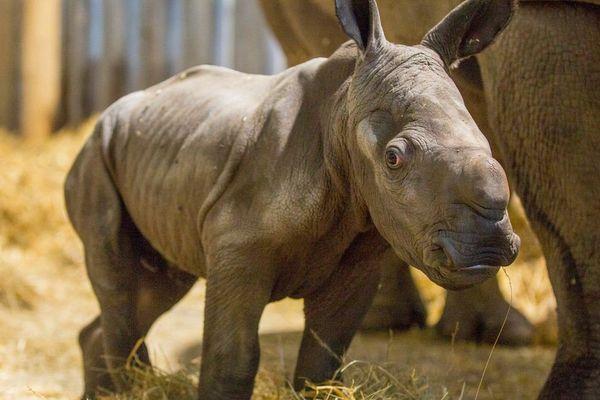Le nouveau bébé rhino du Zoo de Beauval
