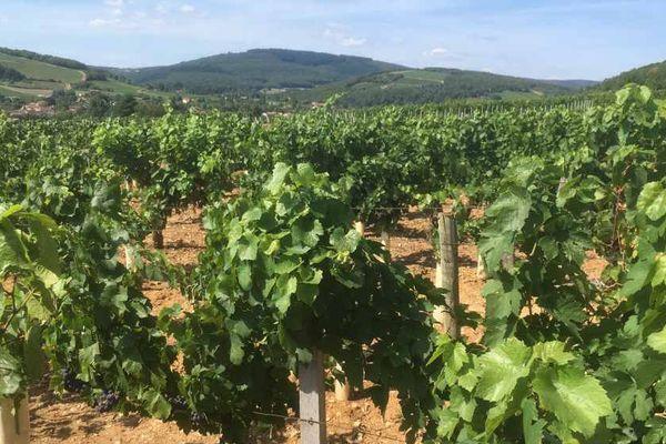 Un vignoble à Azé, en Saône-et-Loire