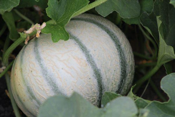 Les premiers melons de Cavaillon ont été récoltés en France.