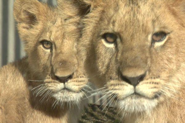 """Deux clandestins ont récemment été accueillis dans la Loire: Yoda et Ysis sont des lionceaux, certainement issus d'un trafic illégal d'animaux, et confiés par la justice à l'association """"Tonga terre d'accueil"""", basée au zoo de St-Martin la Plaine."""