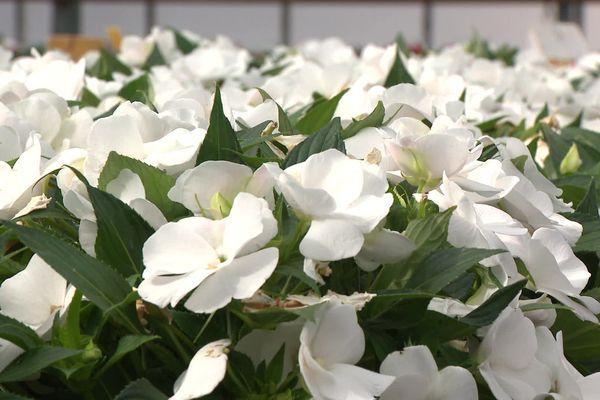 Les horticulteurs et pépiniéristes de la Loire réclament l'autorisation de vente des plantes fleuries. Avec le confinement, la filière affiche 4 millions d'euros de perte chaque semaine en Auvergne-Rhône-Alpes.