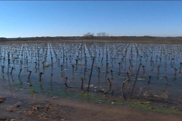 Les vignerons de Sérignan inondent volontairement leurs vignes pour lutter contre la sécheresse et la salinisation - février 2018