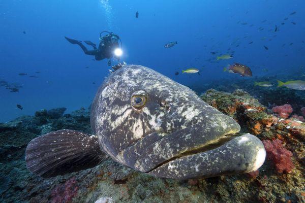 Le mérou avait fini par presque disparaître des côtes méditerranéennes jusqu'au moratoire sur sa pêche, il y a presque 30 ans.