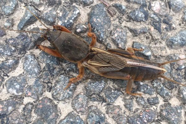 L'insecte tient son nom des courtils, en vieux français, qui signifie petit jardin.