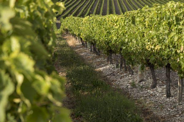 Des vignes situées à Saint-Thomas-de-Conac (Charente-Maritime)