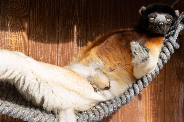 Le petit propithèque, Toki, né le 22 janvier 2020, avec sa maman, Poppy, au zoo de Mulhouse