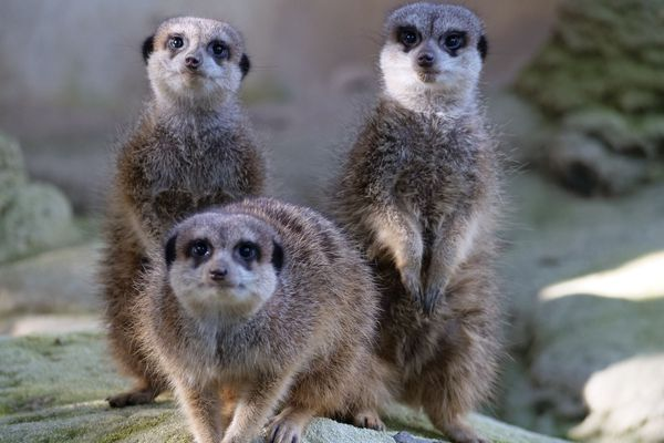 Une famille de suricates particulièrement attentifs