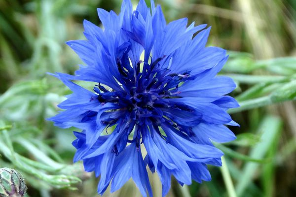 Un bleuet.