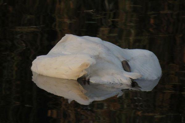 Plusieurs cygnes ont été retrouvés morts dans le canal de décharge de l'Ill, à hauteur du hameau de Krafft, à Erstein (Bas-Rhin).