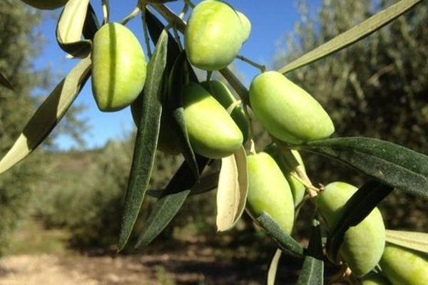 Les olives de table de Lucques ont obtenues une AOC. Octobre 2015.
