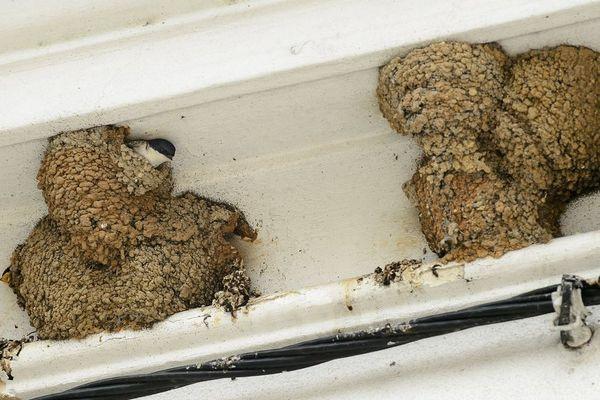 Des nids d'hirondelles sous un toit
