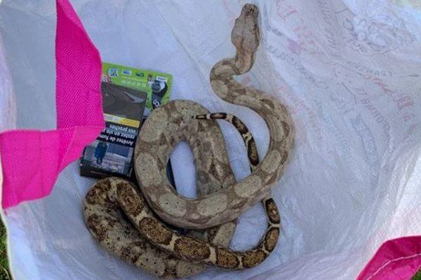 Le boa constrictor tentait de sortir d'un sac de course