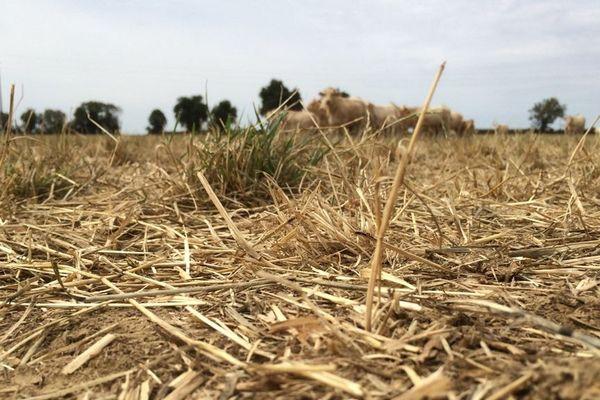 À St Maurice le Girard en Vendée. La sécheresse a grillé les prairies où paissent les bovins.