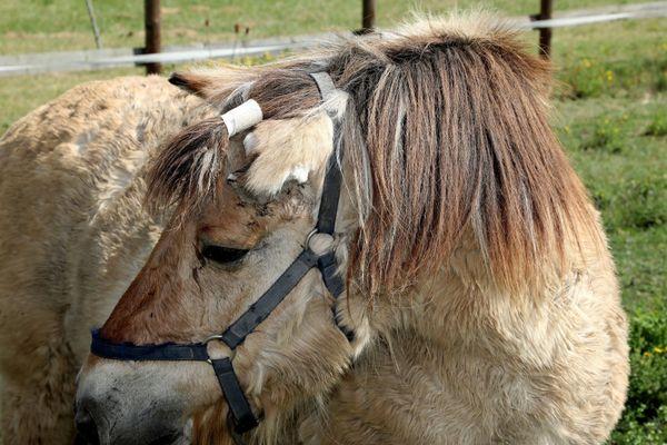 Une trentaine de chevaux ont été retrouvés mutilés et tués en France depuis le début de l'année
