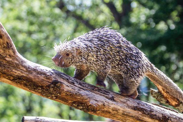 Le petit coendou du Brésil né le 17 mai dernier