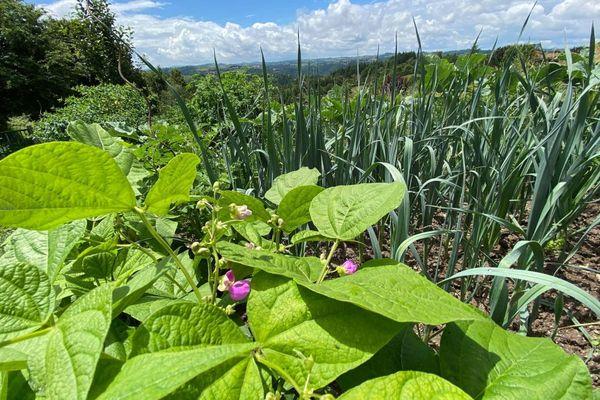Haricots et oignons poussent notamment au coeur du potager de Claudy.