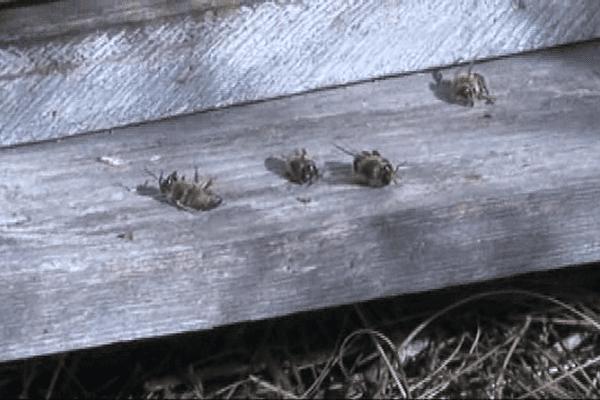 Des milliers d'abeilles sont mortes mystérieusement dans les Pyrénées-Orientales.