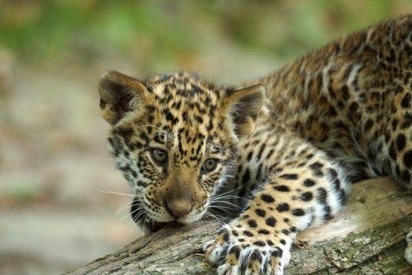 Le petit jaguar du zoo de Beauval