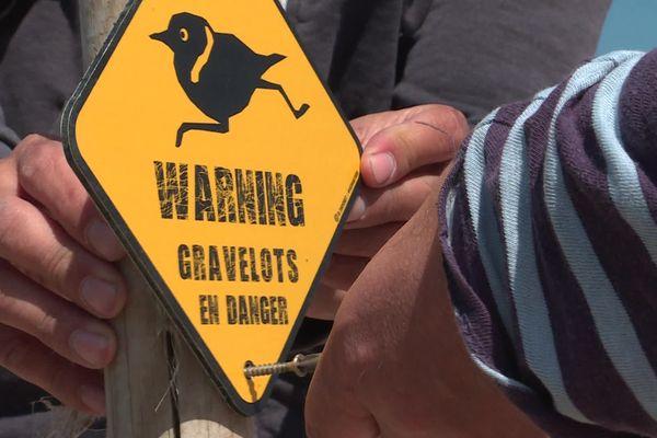 Attention, gravelots en danger