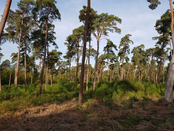 Après exploitation forestière, un semis de cerisiers tardif qui occupent l'espace sous les pins Sylvestre, profite de l'apport de lumière pour exploser littéralement en abondance.