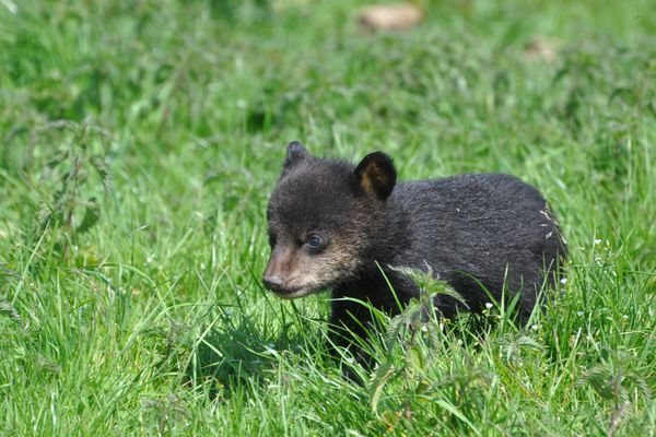 Seules naissances en Europe cette année : 2 petits oursons noirs à Planète Sauvage