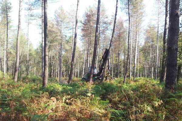 Les pins laricio de la forêt de Moulière sont malades et doivent être abattus.