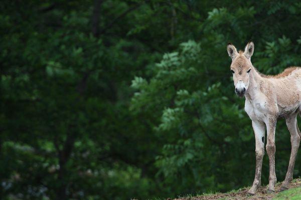 Altaï, ce bébé kulan né le 1er mai au Parc animalier d'Auvergne, pourra être observé par les visiteurs dès le 18 mai.