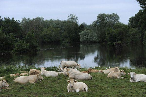 Vaches près d'un champ inondé à Tours, en Indre-et-Loire, le 4 juin 2016