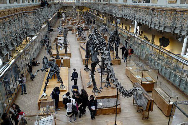 """Le diplodocus """"Dippy"""", dans la galerie de paléontologie du Muséum national d'histoire naturelle, à Paris."""