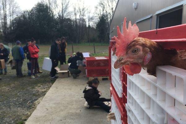 À Saint-Mathieu, plus de 2 500 poules pondeuses ont été vendues ce samedi 7 mars 2020.