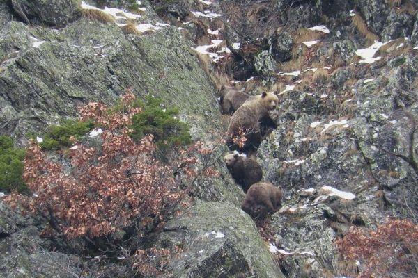 L'ours amCaramellita avec ses petits en 2016.