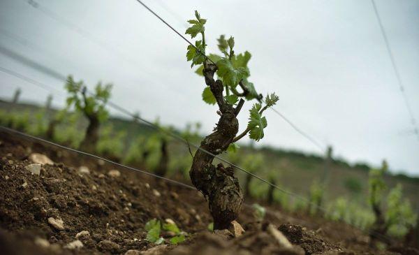 Un cep de vigne de la parcelle Romanée-Conti, à Vosne-Romanée, en Côte-d'Or.