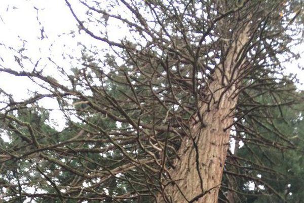 Un séquoïa de 120 ans