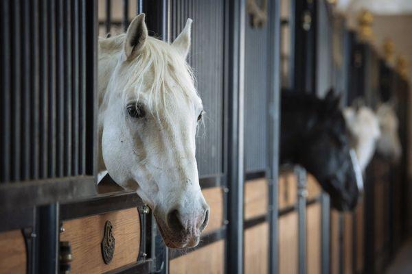 Une virulente épidémie de rhinopneumonie équine sévit en France. (Illustration)