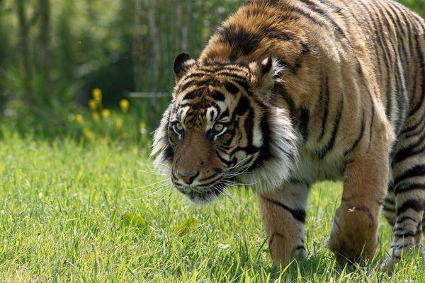 Taru, un tigre de Sumatra, présent au parc animalier le Pal depuis 2012, va bientôt voir arriver une femelle.