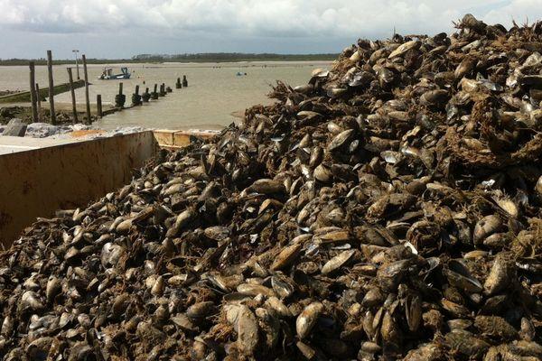 Le stock marchand des moules de bouchot est détruit à 100 % à l'Aiguillon-sur-Mer, les 800 tonnes de coquillages seraient victimes d'apports d'eau douce trop importants dans le Pertuis Breton