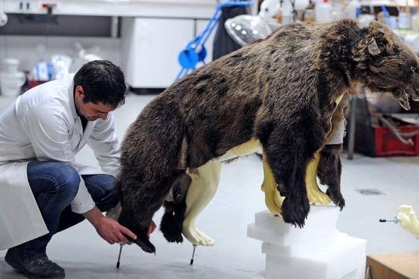 """La peau de l'ours """"habille"""" un nouveau squelette"""