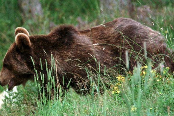 De nombreux élus locaux estiment que la présence de l'ours n'est pas compatible avec la pratique de l'agropastoralisme.